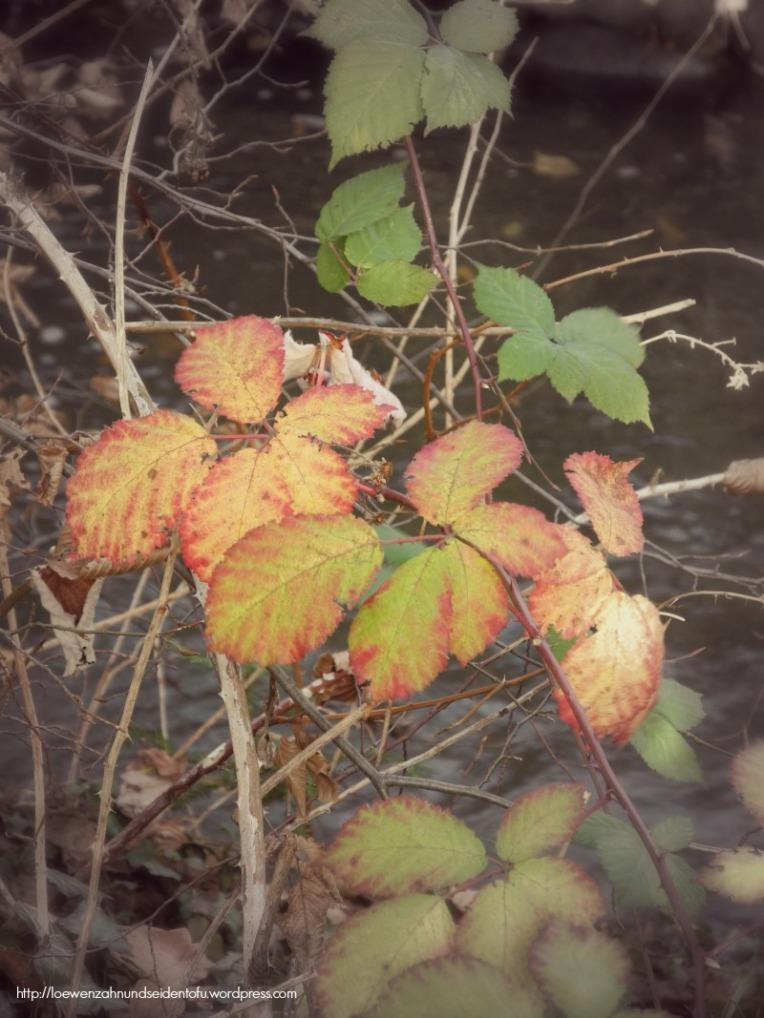 Brombeerblatt im Herbst