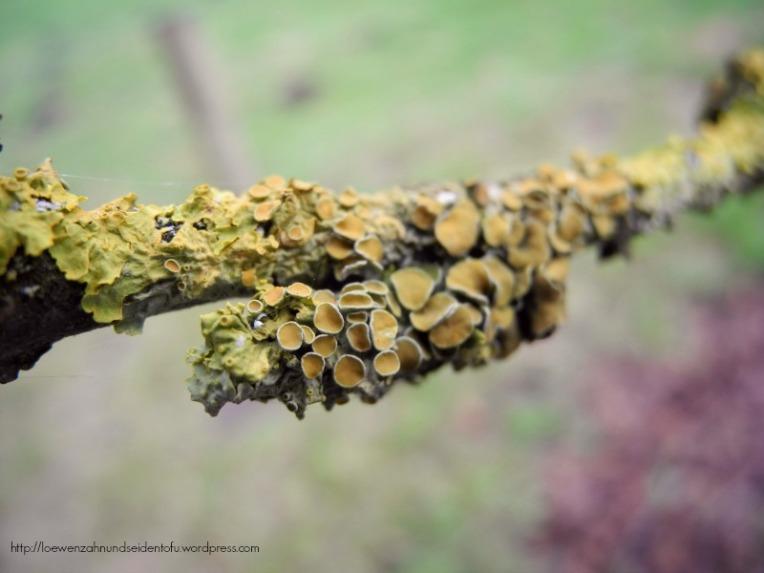 Flechten auf Esche Botanischer Garten Gütersloh