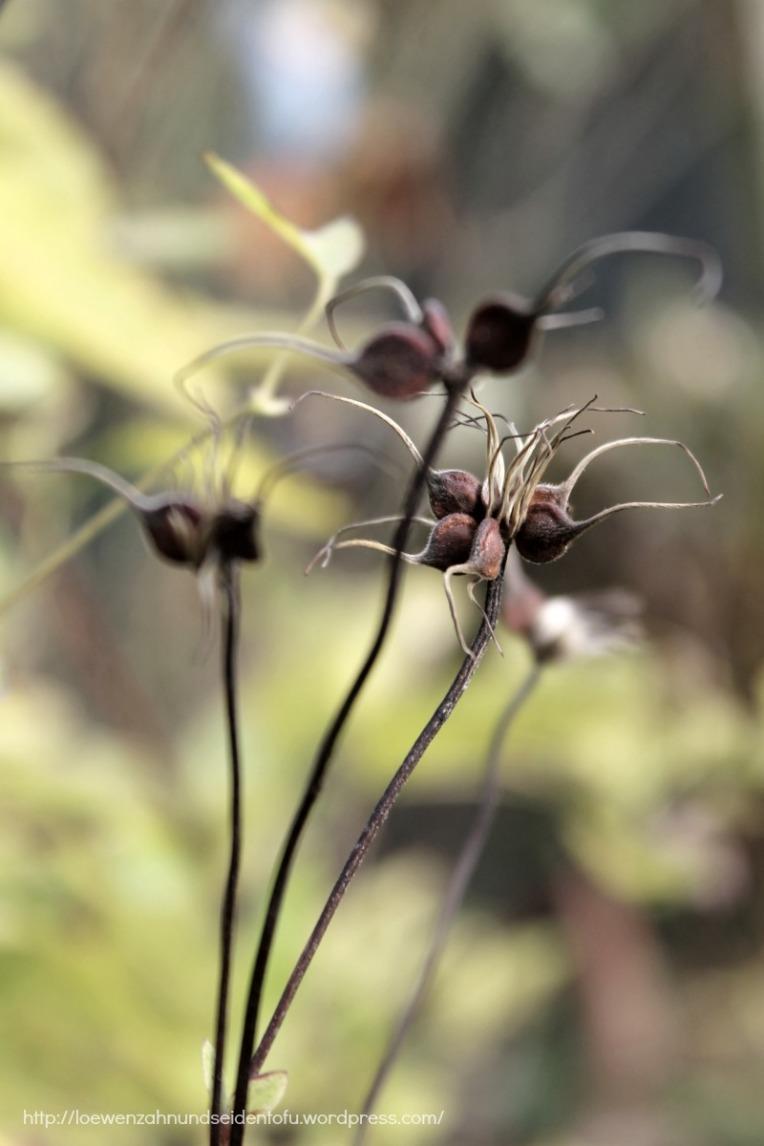 Naturfotografie Clematis Samen