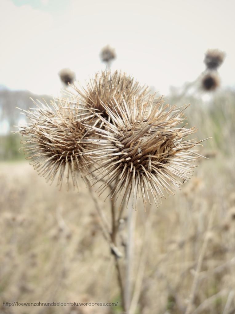 Naturfotografie Distel